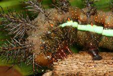 Free Tropical Caterpillar Royalty Free Stock Image - 9366426