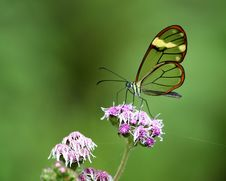 Free Translucent Butterfly Royalty Free Stock Photography - 9366487