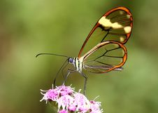 Free Translucent Butterfly Stock Photography - 9366502