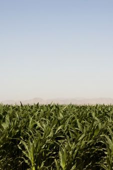 Free Corn Crop Of Dry Dusty Desert Farm Stock Photography - 9366562