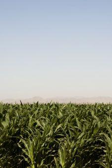 Corn Crop Of Dry Dusty Desert Farm Stock Photography