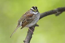 Free White-throated Sparrow (Zonotrichia Albicollis) Stock Photography - 9366592