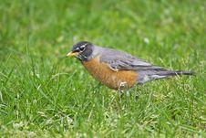 American Robin (Turdus Migratorius Migratorius) Stock Photo