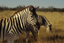 Free Zebra Portrait Royalty Free Stock Photo - 9366805