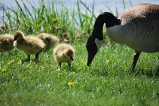 Free Goose And Goslings Royalty Free Stock Photos - 9367918