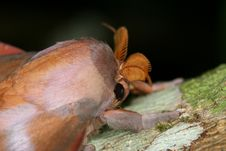 Free Moth Closeup Royalty Free Stock Image - 9367956