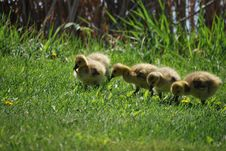 Free Goslings In The Grass Stock Photo - 9368170