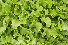 Free A Bed Of Loose Leaf Lettuce Royalty Free Stock Image - 9368626