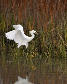Free Snowy Egret Stock Image - 9369181