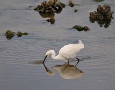 Free Snowy Egret Stock Images - 9369194