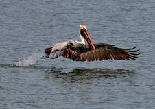 Free Brown Pelican Stock Photo - 9369200