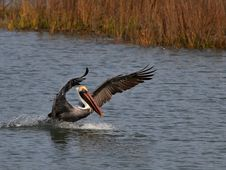 Free Brown Pelican Stock Images - 9369204