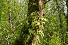 Free Trunk With Moss And Epiphytic Leaves 1 Stock Photography - 93617362