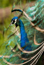 Free Peacock Stock Photography - 9371792