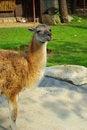 Free The Lama Animal 2 Stock Image - 9371811