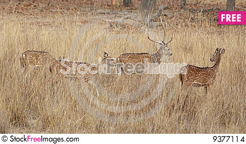 Free Indian Spotted Deers Stock Images - 9377114