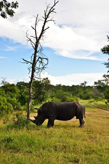 Free Rhino Tree Royalty Free Stock Image - 9370466