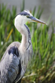 Free Great Blue Heron Royalty Free Stock Photography - 9370517