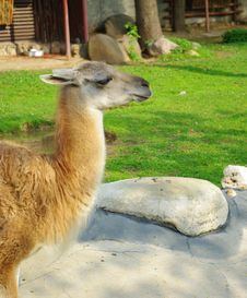 Free The Lama Animal Stock Photography - 9371682