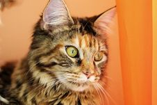 Free Maine Coon Stock Photos - 9373683