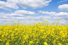 Free Rape Field Stock Photos - 9374413
