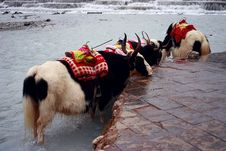 Free Yaks Wait In Whiteriver Stock Photo - 9375580