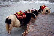 Yaks Wait In Whiteriver Stock Photo