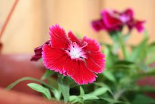 Free Dianthus Hybrida Royalty Free Stock Images - 9375609