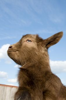 Free The Young  Goatling. Royalty Free Stock Image - 9375786
