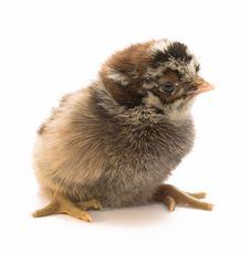Free Chicken Stock Photos - 9376553