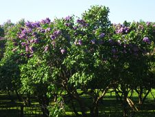 Free Lilas Garden Royalty Free Stock Photography - 9377327