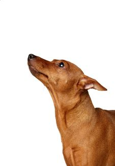 Free Red Miniature Pinscher Loking Up Stock Image - 9377491
