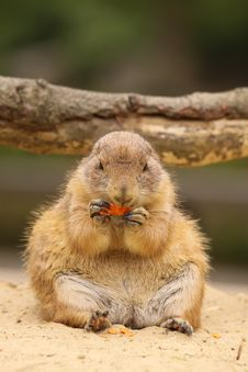 Free Cute Little Prairie Dog Sitting And Eating Carrot Stock Photo - 9377580