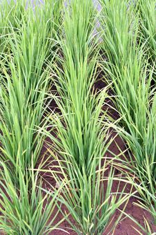 Free Paddy Field Series 2 Royalty Free Stock Images - 9378169