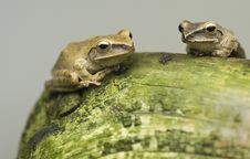 Free Two Frogs Stock Photography - 9379742