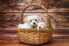 Free Two Maltese Dogs In Wicker Basket Stock Photo - 93731900