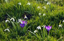 Free Crocus And Snowdrops Stock Photo - 93731970