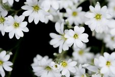 Free Delicate White Blossoms Stock Photography - 93732042