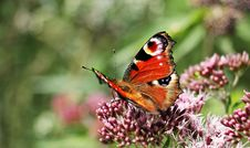 Free Brown Black And White Butterfly On Purple Flower Bud Royalty Free Stock Image - 93797656