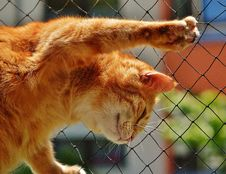Free Orange Tabby Cat On Black Rope Link Fence Stock Photography - 93797752
