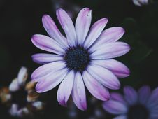Free White And Purple Daisy Royalty Free Stock Photography - 93797787