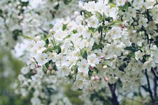 Free Apple Blossoms Stock Image - 93798131
