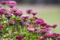Free Daisy Royalty Free Stock Photo - 9383505