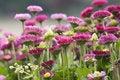 Free Daisy Stock Image - 9383521