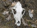 Free Skull Of An Animal In The Forest Royalty Free Stock Photography - 9389467