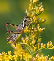 Free Red Legged Grasshopper Royalty Free Stock Photos - 9380498