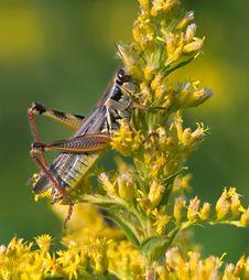 Red Legged Grasshopper Royalty Free Stock Photos
