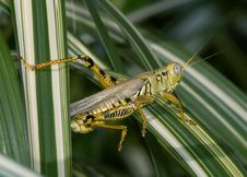 Free Differential Grasshopper Stock Photography - 9380592