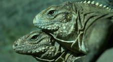 Free Iguana Stock Image - 9380911