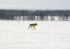 Free Polar Wolf (Canis Lupus Albus) Royalty Free Stock Photography - 9382467